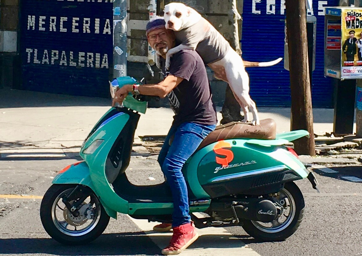 A guy and his dog riding a scooter in Roma Norte, Mexico City.